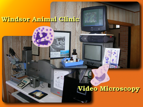 veterinary video microscopy used at the Windsor Animal Clinic